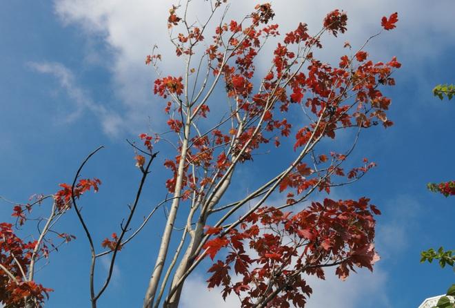 Ngắm phong lá đỏ chuyển màu rực rỡ ở cao nguyên đá vôi cao thứ 2 Việt Nam - 8