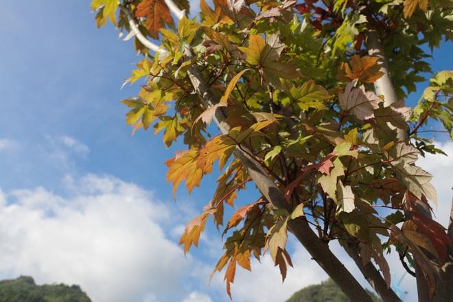 Ngắm phong lá đỏ chuyển màu rực rỡ ở cao nguyên đá vôi cao thứ 2 Việt Nam - 11