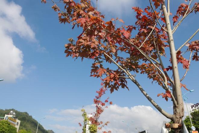 Ngắm phong lá đỏ chuyển màu rực rỡ ở cao nguyên đá vôi cao thứ 2 Việt Nam - 10