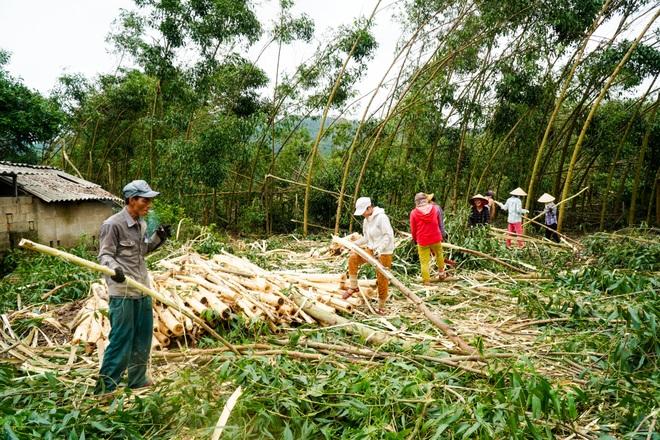 Nông dân Huế hối hả thu hoạch keo lá tràm chạy bão - 3