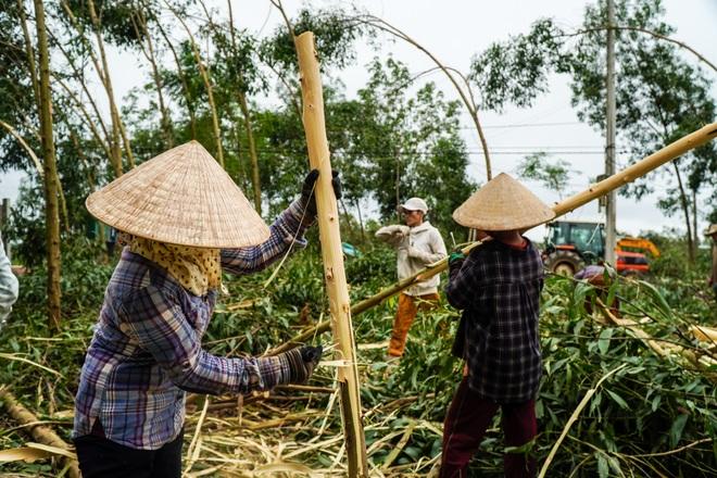Nông dân Huế hối hả thu hoạch keo lá tràm chạy bão - 13