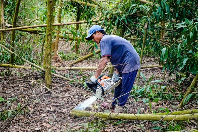 Nông dân Huế hối hả thu hoạch keo lá tràm chạy bão - 4