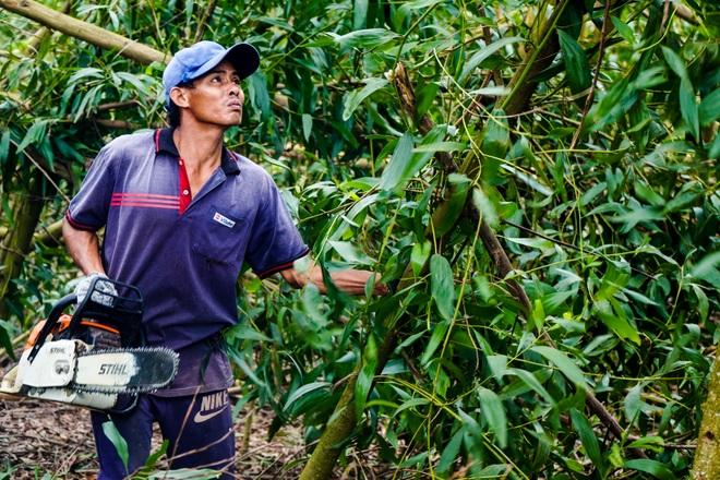 Nông dân Huế hối hả thu hoạch keo lá tràm chạy bão - 12