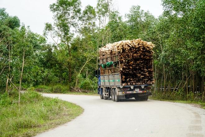 Nông dân Huế hối hả thu hoạch keo lá tràm chạy bão - 9