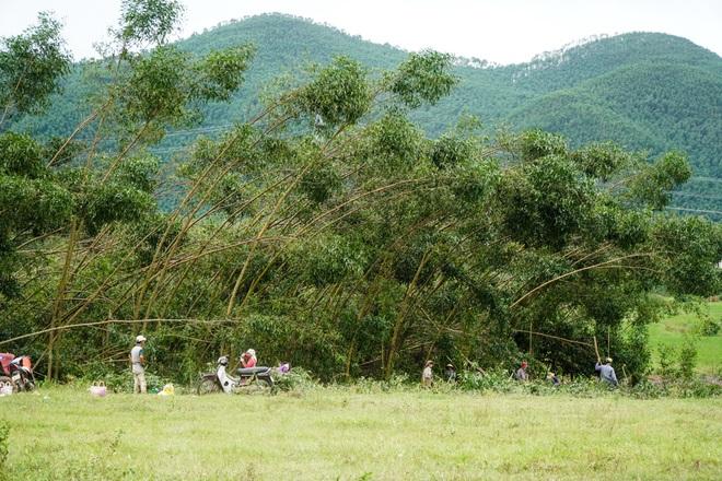 Nông dân Huế hối hả thu hoạch keo lá tràm chạy bão - 2
