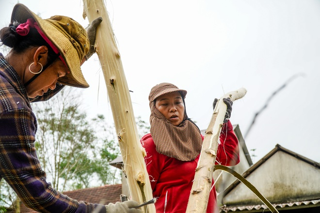 Nông dân Huế hối hả thu hoạch keo lá tràm chạy bão - 14