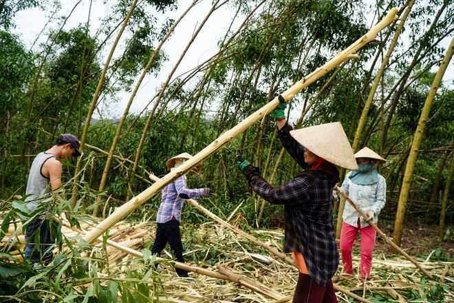Nông dân Huế hối hả thu hoạch keo lá tràm chạy bão - 15