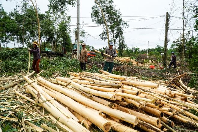 Nông dân Huế hối hả thu hoạch keo lá tràm chạy bão - 16