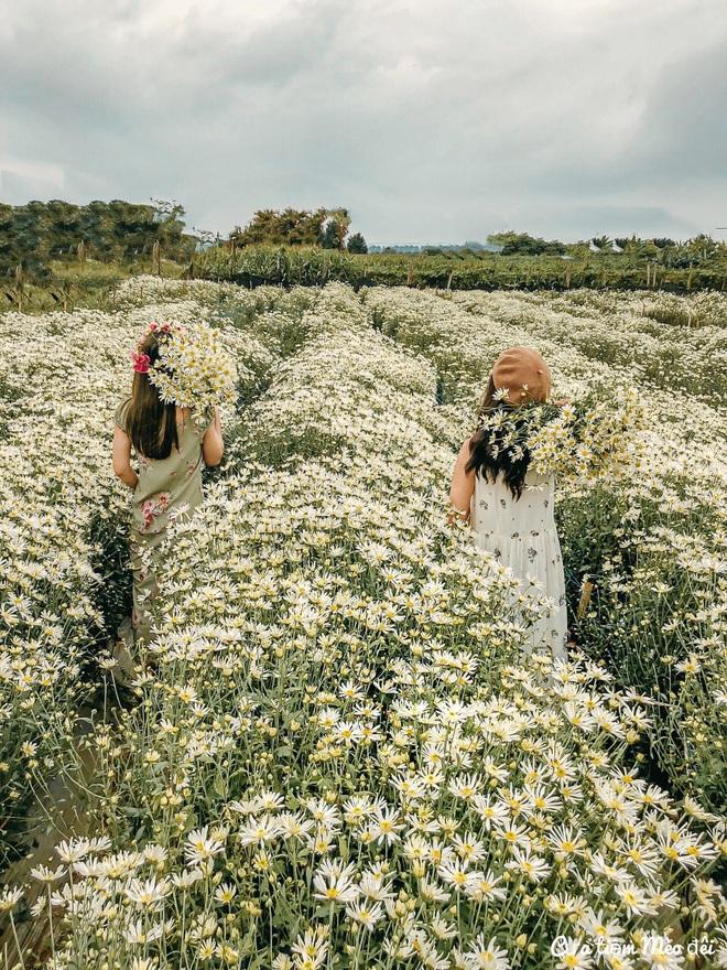 Ngẩn ngơ ngắm cánh đồng cúc họa mi giữa cao nguyên Mộc Châu - 3