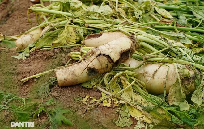 Không được giải cứu như Hải Dương, trăm tấn củ cải, cà chua ế hỏng ở Hà Nội - 9