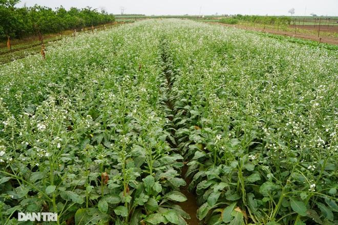 Không được giải cứu như Hải Dương, trăm tấn củ cải, cà chua ế hỏng ở Hà Nội - 11