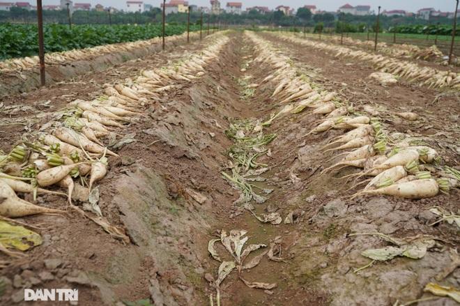 Không được giải cứu như Hải Dương, trăm tấn củ cải, cà chua ế hỏng ở Hà Nội - 8