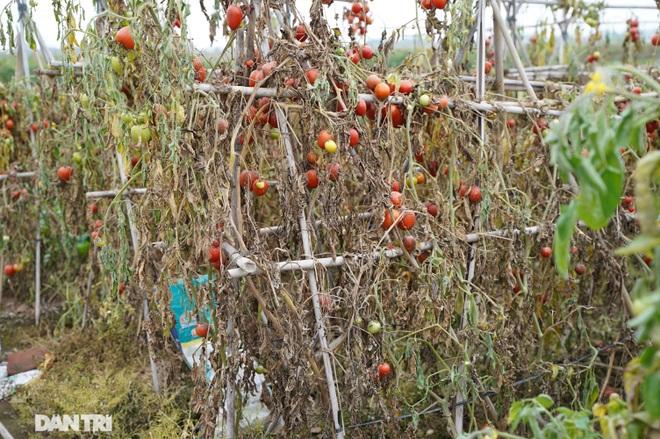 Không được giải cứu như Hải Dương, trăm tấn củ cải, cà chua ế hỏng ở Hà Nội - 3