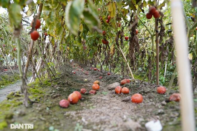 Không được giải cứu như Hải Dương, trăm tấn củ cải, cà chua ế hỏng ở Hà Nội - 4