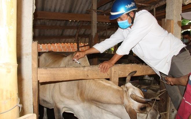 Gần 1.000 con bò da lở loét, nổi u cục bất thường, nông dân lo sốt vó - 4