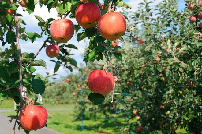 Hé lộ dùng ánh sáng mặt trời tạo ra quả táo xăm hình lạ mắt - 1