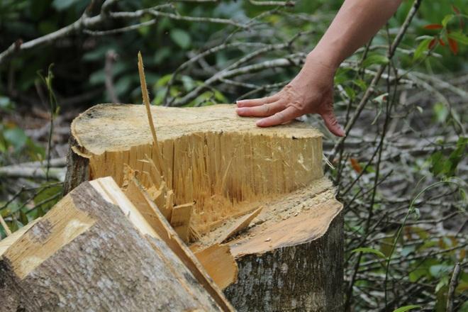 Đăk Nông: Rầm rộ phá rừng để chiếm đất trồng cây, dựng nhà trái phép - 2