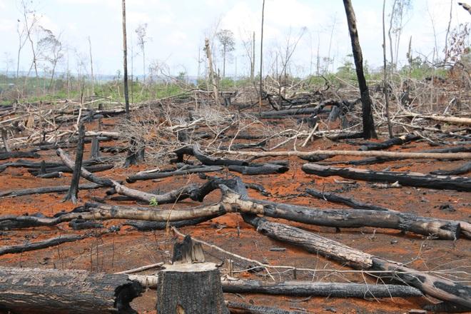 Đăk Nông: Rầm rộ phá rừng để chiếm đất trồng cây, dựng nhà trái phép - 3
