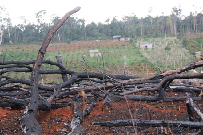 Đăk Nông: Rầm rộ phá rừng để chiếm đất trồng cây, dựng nhà trái phép - 6