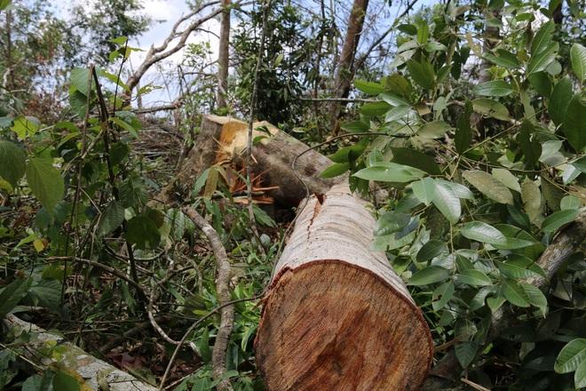 Đăk Nông: Rầm rộ phá rừng để chiếm đất trồng cây, dựng nhà trái phép - 10