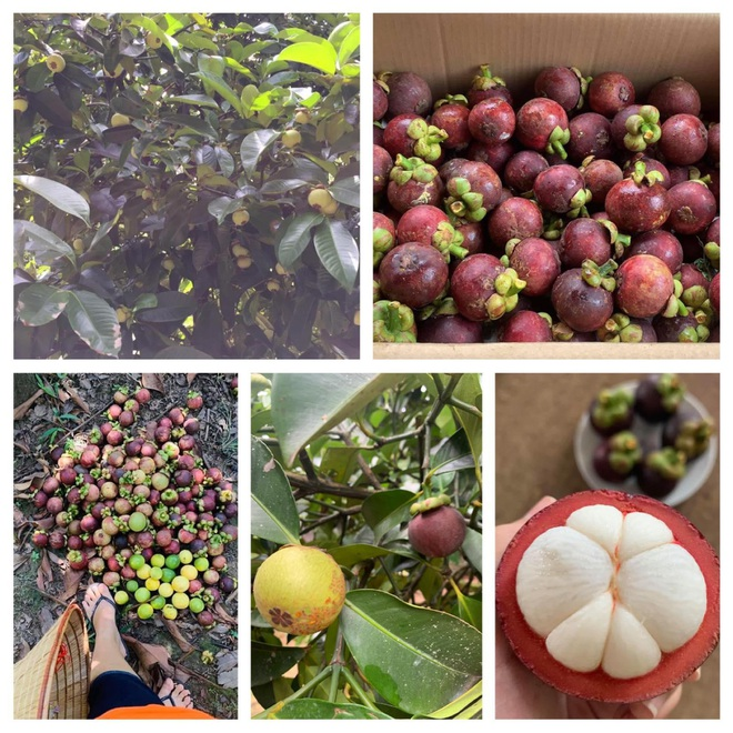 Vườn sai trĩu quả của 9X Bình Phước bỏ phố về quê nối nghiệp cha - 6