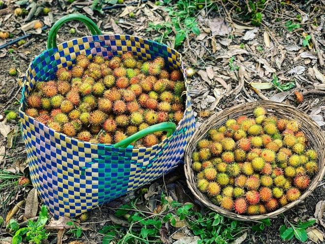 Vườn sai trĩu quả của 9X Bình Phước bỏ phố về quê nối nghiệp cha - 10