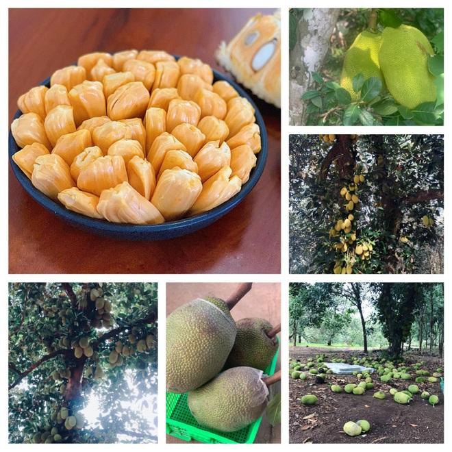 Vườn sai trĩu quả của 9X Bình Phước bỏ phố về quê nối nghiệp cha - 13