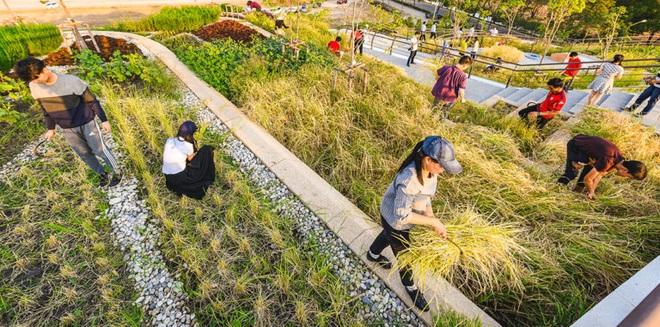 Kinh ngạc ruộng lúa kiểu bậc thang trên mái nhà ngập tràn màu xanh - 9