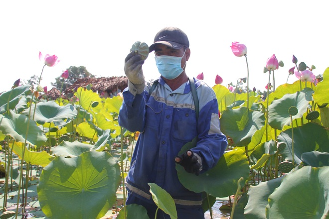 Trồng sen kết hợp nuôi cá, nông dân thu lãi 200 triệu đồng mỗi vụ - 6
