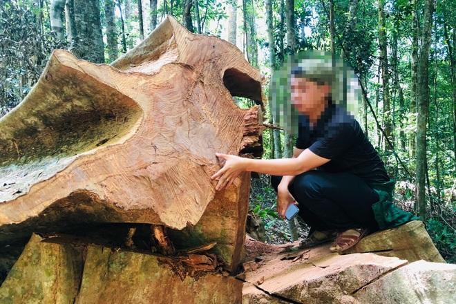 Tàn sát rừng xanh ở Gia Lai: Kiểm tra một nơi, báo cáo một nẻo (!?) - 5
