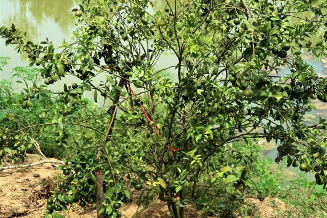 Lão nông bắt cây ra quả trên đất cằn, thu hàng trăm triệu đồng mỗi năm - 2