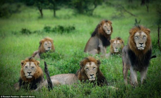 Liên minh khét tiếng gồm 6 sư tử đực thống trị đồng cỏ châu Phi - 1