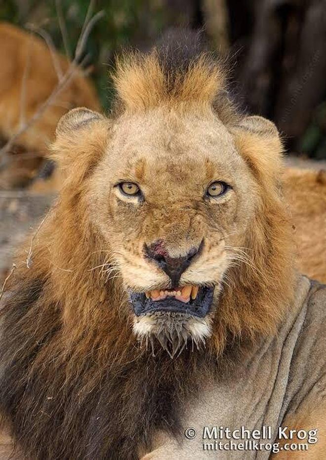 Liên minh khét tiếng gồm 6 sư tử đực thống trị đồng cỏ châu Phi - 4