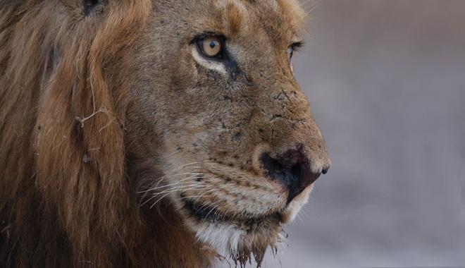 Liên minh khét tiếng gồm 6 sư tử đực thống trị đồng cỏ châu Phi - 3