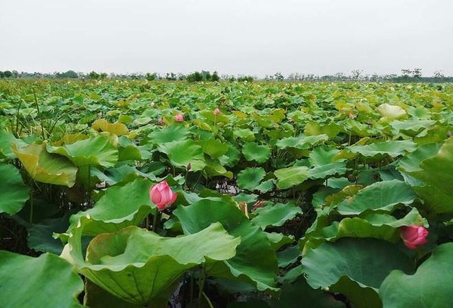 Biến đồng hoang thành đầm sen khổng lồ, anh nông dân lập kỷ lục mùa hái triệu bông hoa - 1