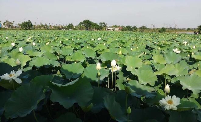 Biến đồng hoang thành đầm sen khổng lồ, anh nông dân lập kỷ lục mùa hái triệu bông hoa - 5
