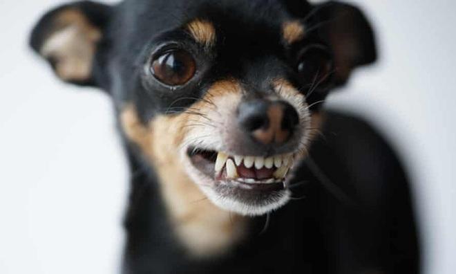Tại sao những con chó nhỏ lại thường hung dữ hơn? - 1