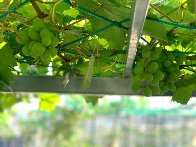 Khu vườn trên cao, rộng 60m2 có nhiều rau, trái lạ của mẹ đảm ở Sài Gòn - 2