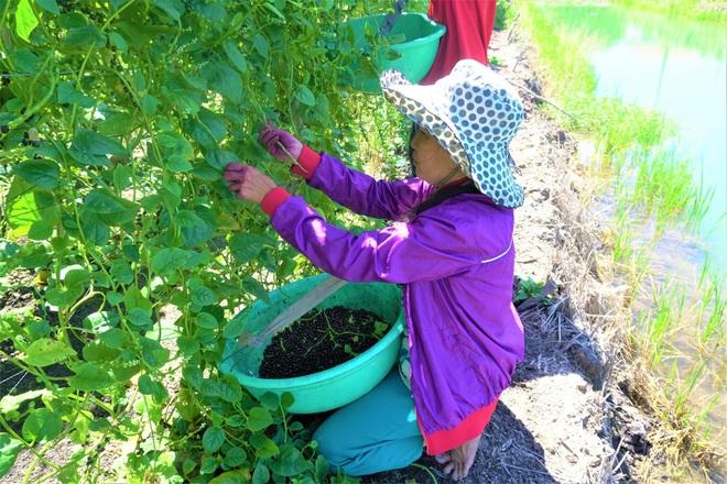 Nông dân đổi đời nhờ trồng mồng tơi bán hạt - 3