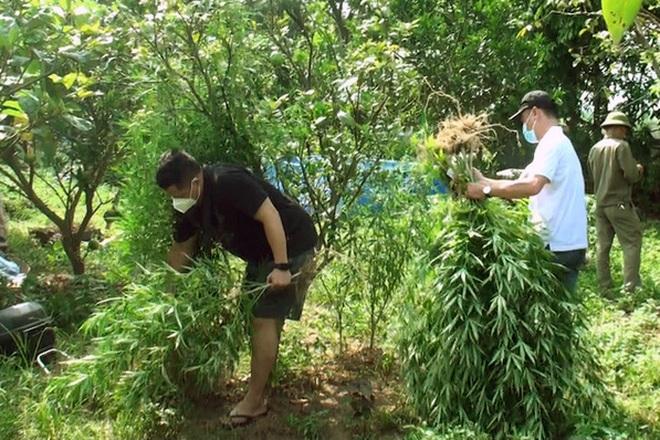 Lời khai của doanh nhân ngoại quốc trồng vườn cần sa ở bãi giữa sông Hồng - 1