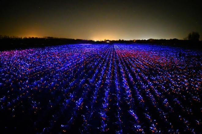 Bí thuật ánh sáng xanh, đỏ trên trang trại và mục đích bất ngờ đằng sau - 1