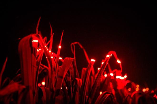Bí thuật ánh sáng xanh, đỏ trên trang trại và mục đích bất ngờ đằng sau - 4