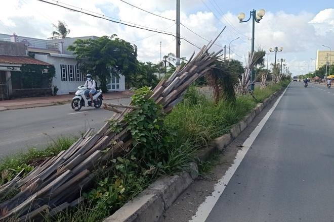 Hàng chục cây cọ bất ngờ bị bứng khỏi tuyến đường trăm tỷ - 2
