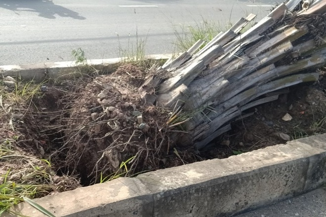 Hàng chục cây cọ bất ngờ bị bứng khỏi tuyến đường trăm tỷ - 3