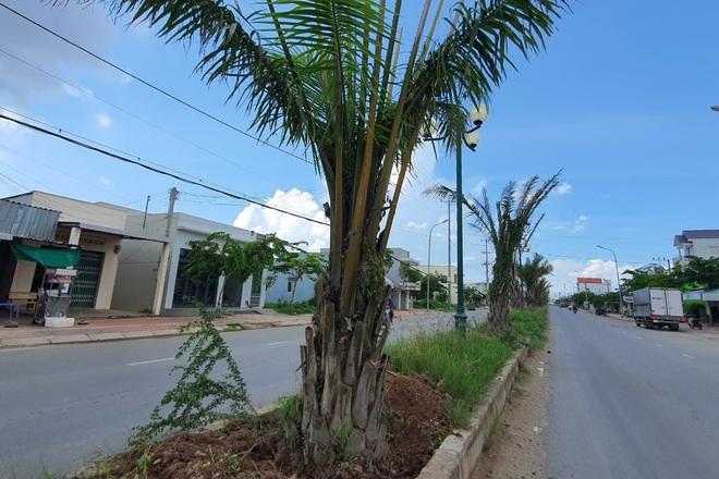 Hàng chục cây cọ bất ngờ bị bứng khỏi tuyến đường trăm tỷ - 1