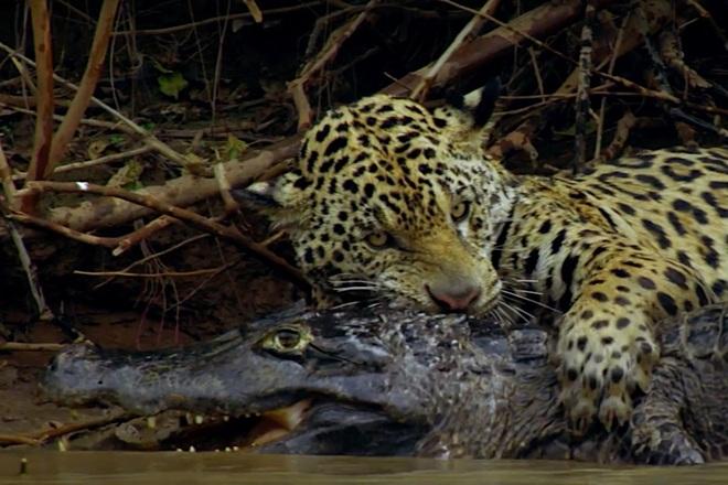 Báo đốm liều lĩnh nhảy chồm xuống sông để săn cá sấu và cái kết - 1