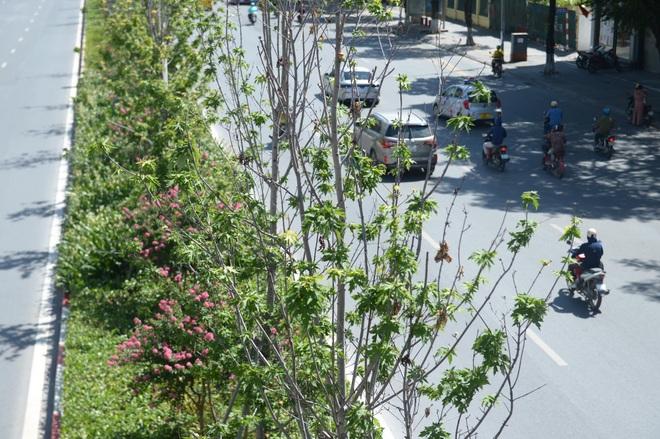 Hà Nội đánh chuyển toàn bộ hàng cây phong lá đỏ để... tránh nắng - 2