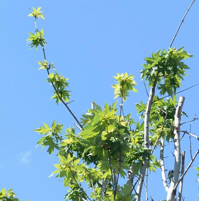 Hà Nội đánh chuyển toàn bộ hàng cây phong lá đỏ để... tránh nắng - 4