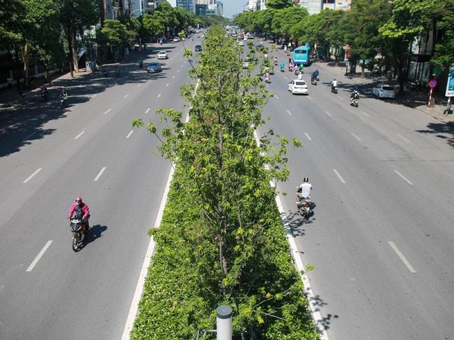 Hà Nội đánh chuyển toàn bộ hàng cây phong lá đỏ để... tránh nắng - 1