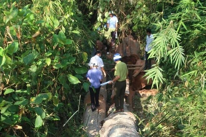 Khởi tố 4 đối tượng chặt hạ 2 cây cổ thụ gần 30 m3 - 1